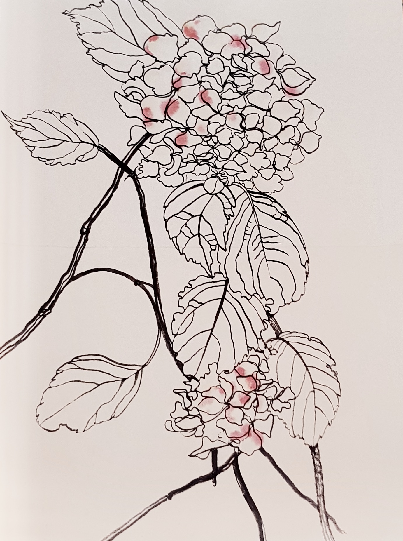hand drawn and watercolour image of a hydrangea with touches of warm pink on the petals by Tracy MacKenna